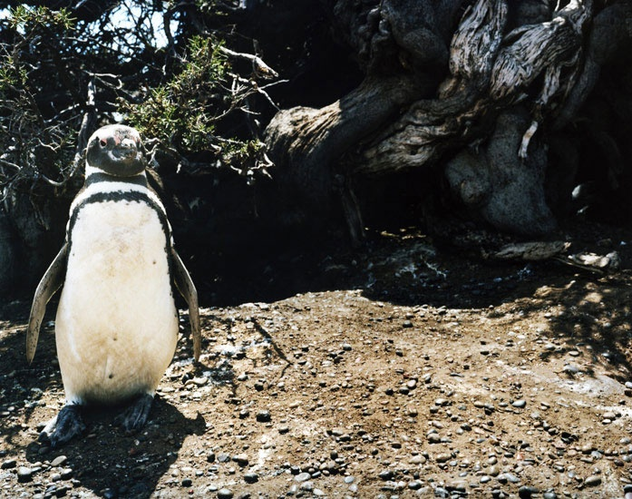 Travel_40_magellanic_penguin_punta_tombo_argentina.jpg